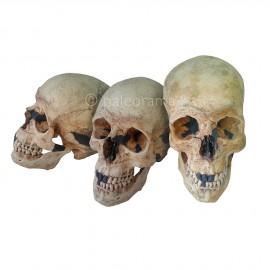 Cráneo de Homo sapiens