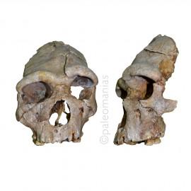 Cráneo Heildelbergensis Arago 21