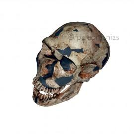 FErrassie1 neanderthal skull