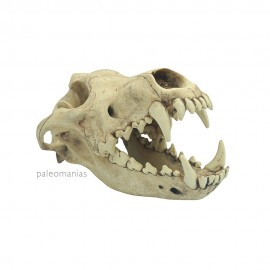 Cráneo de lobo