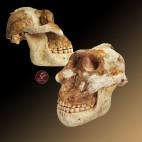Cráneo Australopithecus boisei