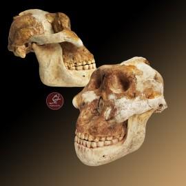 6 craneo hominido