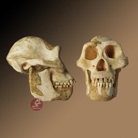 Cráneo Australopithecus afarensis