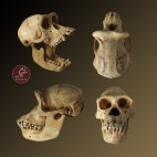 Cráneo de chimpancé