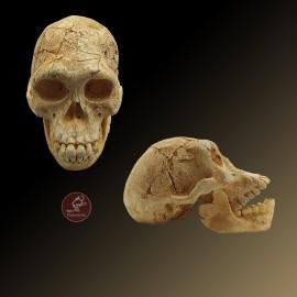 Cráneo 3 Homo Georgicus